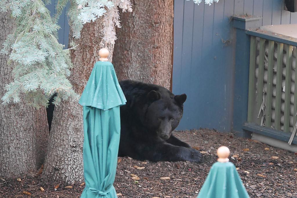 Bear in Aspen